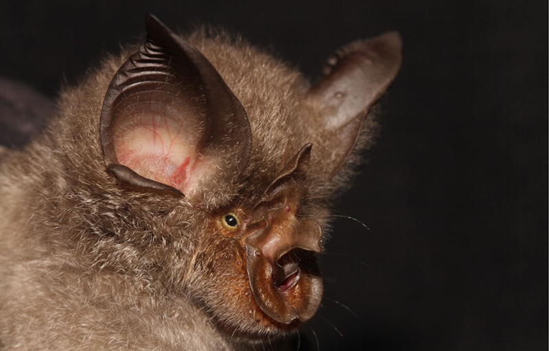 The rufous horseshoe bat is considered one of the primary carriers in the zoonotic scenario and is the same species implicated in the first SARS outbreak in 2013. Photo by Taylor, Stoffberg, Monadjem, Schoeman, Bayliss & Cotterill   Wikimedia Commons